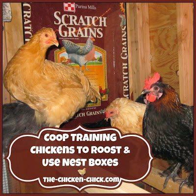 At one time or another, most chicken-keepers have experienced the inconvenience of having to chase, coax, cajole or otherwise escort a new flock member into the coop at dusk, which is no fun for us, or them. Chickens do not manage stress well and moving from one housing arrangement to another is extremely stressful for chickens, whether from a brooder to a coop or from one backyard to another.